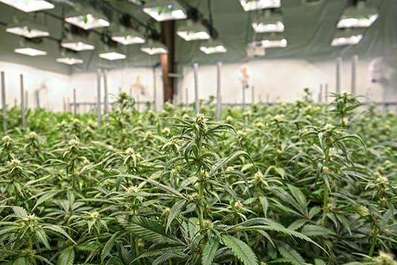 Hemp Amp Cannabis Recruiting And Dispensary Training Hempstaff