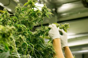 Top Cannabis Careers